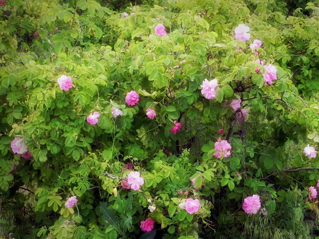 pink-flower-bush